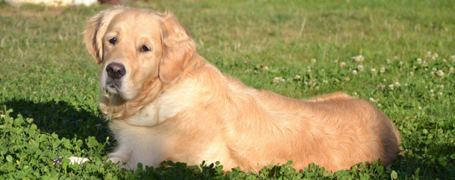 active-dog-golden retriever